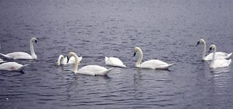 Лебеди в Речном