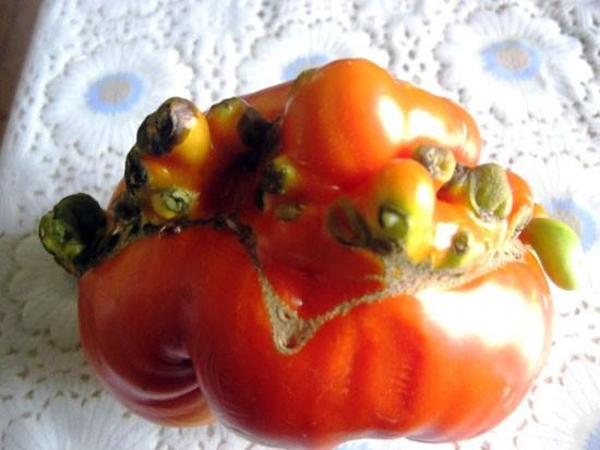 Чудо-помидорка