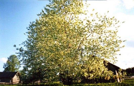 У дома Кокоулиных в Заполье яблони в цвету!