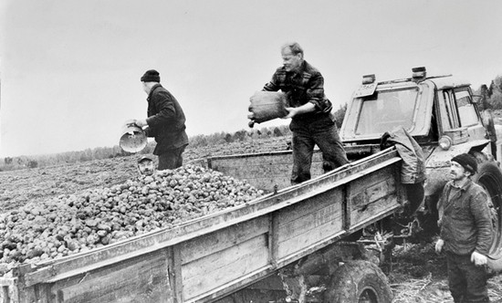 Председатель колхоза «Красный Октябрь» Николай Иванович Матвеев, как и Александр Дмитриевич Червяков, не чурался никакой работы. Вот и здесь он трудится вместе с колхозниками на уборке картофеля