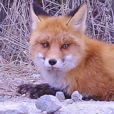 Фотографии лисы