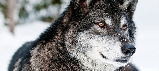 Волчий беспредел