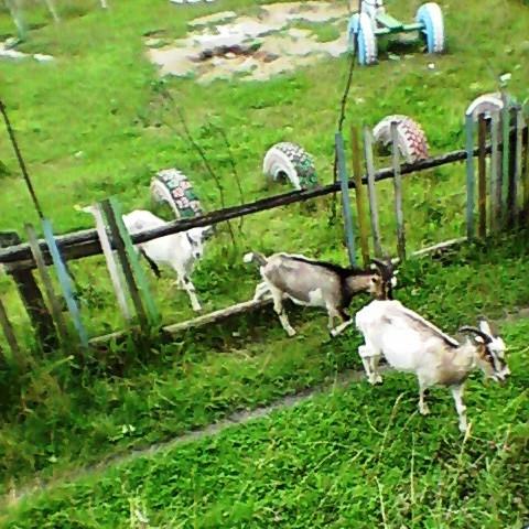 Коровы и козы в Заре