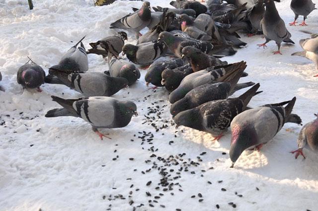 Мертвые голуби в Опарино