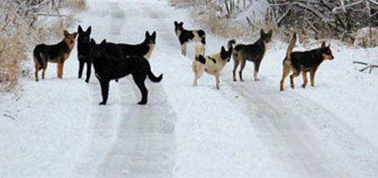 Свободное перемещение собак в райцентре Опарино