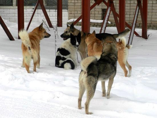 Собаки в Опарино