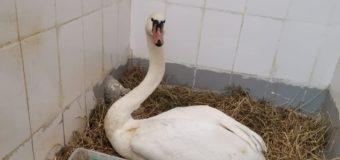 «Большое гнездо» для лебедя